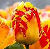 Pas Cher 100Pcs Tulip Graine de Fleur de Tulipe Belle Tulipanes Fleur pour Les Plantes de Jardin Plante (Non Tulip Bulbes) Fleur Amour 22 Symbolise