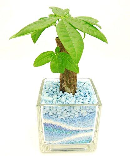 観葉植物 パキラ ハイドロカルチャー ガラス植え S (サンド ブルー) お手入れ簡単 ギフトに最適 室内で安心な土を使わない水耕栽培 お部屋でグリーンを置いてきれいな空気でリラックス