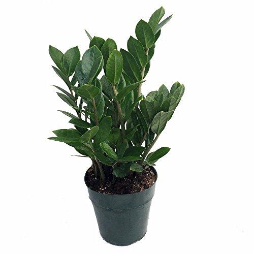 Hirt's Gardens B000PYAGFU Rare ZZ Zamioculcas zamiifolia-Easy to Grow House Plant