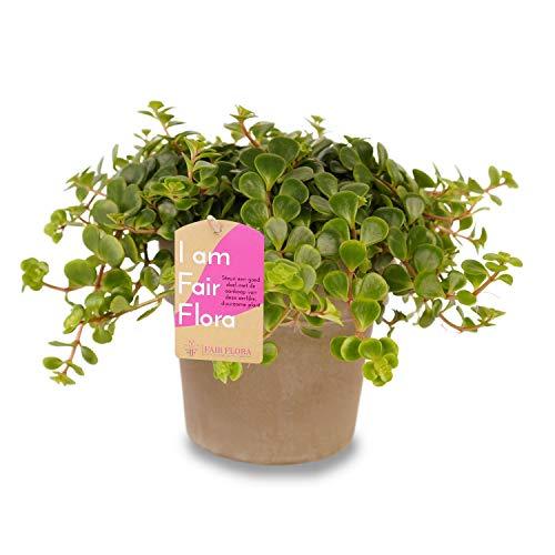Zimmerpflanze – Fetthenne in grauem Übertopf als Set – Höhe: 17 cm