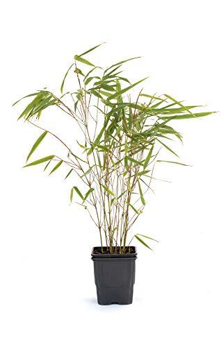 Bambus Fargesia rufa winterhart, immergrün und schnell-wachsend, 30/40 cm hoch, im Topf (1)