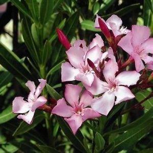 Oleander Bush Seeds (Nerium oleander) 100 + Graines