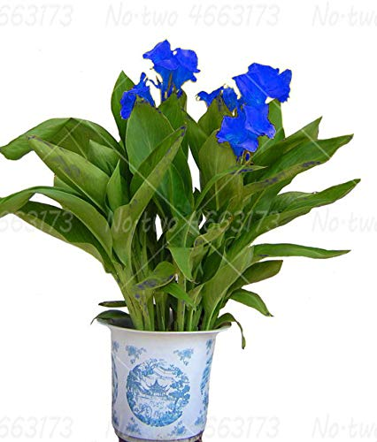 HONIC 5Pcs Canna Indica Bonsai Blumen Canna Blume ausdauernde Innen-blühenden Topfpflanzen für die Bepflanzung Hausgarten Pflanze leicht wachsen: 1