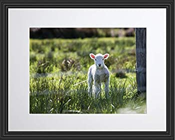 WeSellPhotos Baby Sheep Cute Lamb Farm Animal Poster Framed Photo Picture Print - Room Decor Wall Art for Kids Baby Nursery Children  11x14 Framed