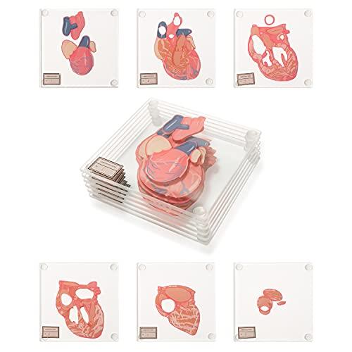 6pcs Anatomic Heart Specimen Coasters