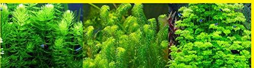 Plantas DE Acuario Lote 3 VARIEDADES EGERIA NAJAS, AMBULIA, Cola DE Zorro.