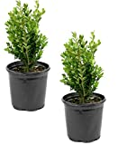 Cottage Hill Boxwood 'Wintergreen' - 2 Piece Live Plant, Green