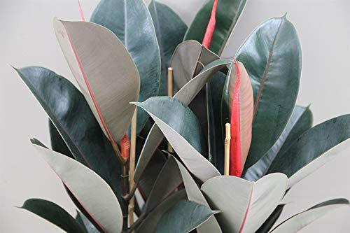 Plante d'intérieur - Plante pour la maison ou le bureau - Ficus elastica - Plante à caoutchouc, hauteur 90 cm