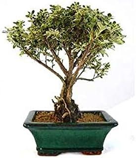 Bonsái Serissa phoetida variegata 5 años MIL ESTRELLAS