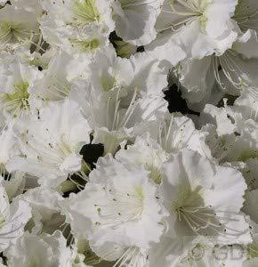 Japanische Azalee Maischnee® 20-25cm - Rhododendron obtusum - Zwerg Alpenrose
