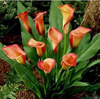 AGROBITS 100pcs plantas de cala flor rara plantación Bonsai flor de la cala (no cala Bulbos), el crecimiento natural para el Hogar Jardín: color caqui oscuro