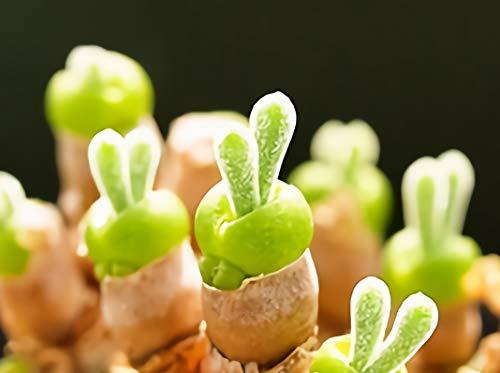 うさ耳モニラリア 種子10粒 多肉植物 珍奇植物 モニラリア