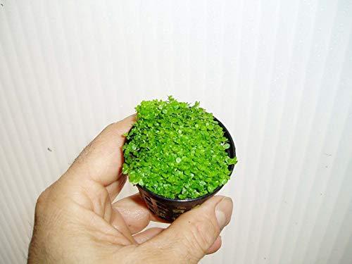 Desconocido Planta DE Acuario Hemianthus callitrichoides Cuba Planta TAPIZANTE