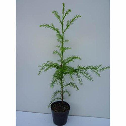 スギ 樹高0.5m前後 10.5cmポット 杉 ノキ すぎ スギノキ 苗木 植木 苗 庭木 生け垣