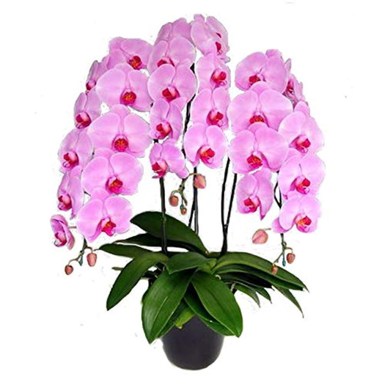 批判的休暇届ける胡蝶蘭 3本立ち ピンク色 30輪前後 大輪