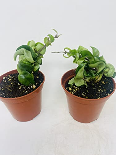 (Pack of 2) Hindu Indian Rope Plant- Hoya Exotic 4' Pot from JMBAMBOO