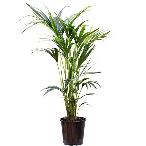 Palmera Kentia 6 brotes – Howea Forsteriana – Altura aprox. 120 cm, diámetro de maceta 24 cm