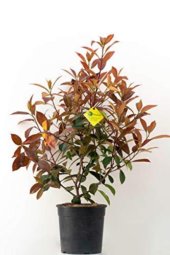 PLANTI' PHOTINIA X FRASERI Red Robin Pianta vera da esterno, arbusto sempreverde, cespuglio ornamentale per giardini ed abbellire reti o muri perimetrali. 6 mesi di concimazione con sistema Plantì