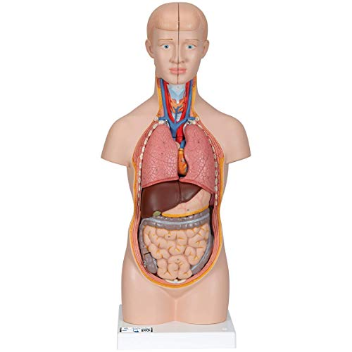 3B Scientific Menschliche Anatomie - Mini-Torso, 12-teilig + kostenloser Anatomiesoftware - 3B Smart Anatomy, B22