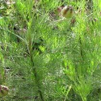 Plante Cola - Arquebuse - Artemisia abrotanum cola plant (lot de 3 pieds)