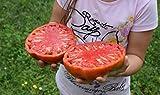 Portal Cool 25 semillas de tomate gigante filete (filete de Super Tomate)