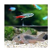 (熱帯魚)ネオンテトラ(10匹) +コリドラス・アエネウス(1匹) 北海道・九州航空便要保温