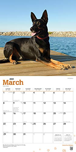 Australian Kelpies 2020 12 x 12 Inch Monthly Square Wall Calendar, Animal Dog Breeds (English, Spanish and French Edition) 8