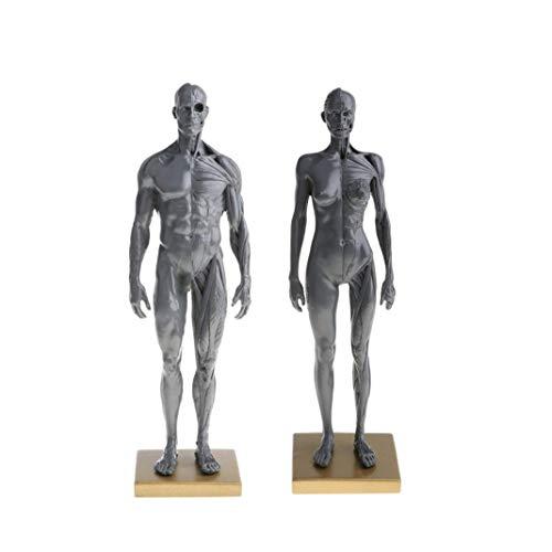DJ-MJJ Simulación del Cuerpo Masculino Estructura Squat Cuerpo Muscular, Macho de 11 Pulgadas y el Modelo anatómico Hembra y de la Piel Suministros de Laboratorio Modelo anatómico (Gris)