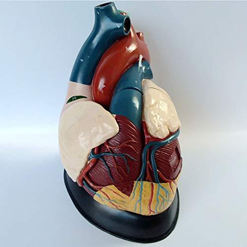 Modelo del Corazón, Compuesto por Arco Aórtico, Aurícula y Sección Coronal Ventricular, y Muestra La Aurícula, el Ventrículo y Las Válvulas Mitral, Tricúspide, Aórtica y Pulmonar