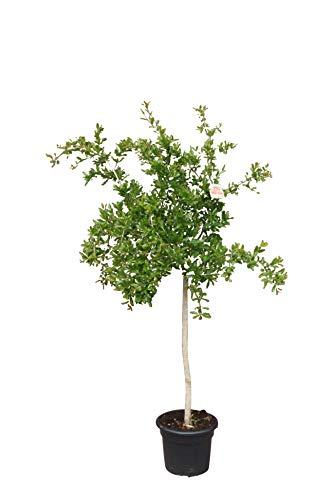 Punica Granatum 180 cm Granatapfelbaum Obstbaum Obst Apfelbaum Apfel, Mollar de Elche