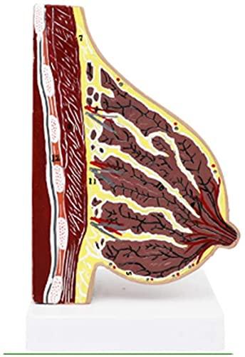 Modelo de estudio Modelo educativo Anatomía Modelo de mama Anatómico Hombre humano Techo Estructura de pecho Modelo para medicina Escuela Enseñanza Ayudas Ginecología Médicos, Lactancia, Modelos médic
