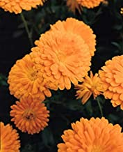 Calendula Prince Series Orange Annual Seeds
