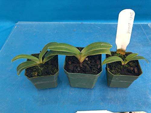 FERRY Bio-Saatgut Nicht nur Pflanzen: Paphiopedilum Puppen Kobold Orchid Hybrid 2