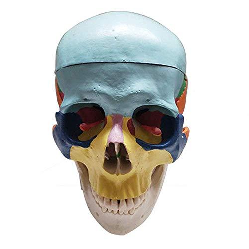 LXX Modelo de Calavera Humana, Colorido Modo de Calavera Humana, tamaño Real, Calavera Humana, Modelo de enseñanza médica, Huesos Pintados para Estudio, enseñanza, formación médica