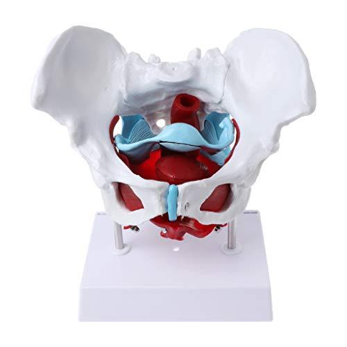 GUMEI Weibliches Becken Beckenboden Muskelmodell Uterus Eierstockmuskel Lehrmittel Bildungsbedarf Abnehmbar