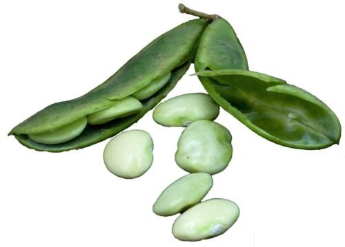 King of Garden Lima Bean 25 graines Heirloom non OGM CombSH G46