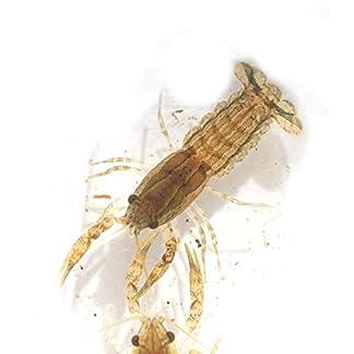 Aquarium Zwergkrebs rot braun Cambarellus Diminutus