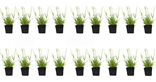 Findlavender - Lavender Grosso (Dark Purple Flowers) - 4' Size Pot - Zones 4-11 - Bee Friendly - Attract Butterfly - Evergreen Plant - 18 Live Plants