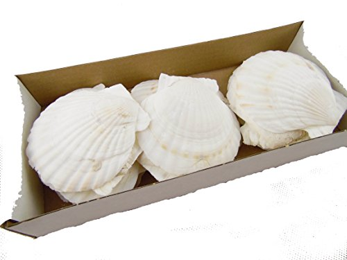 Jakobmuschel/Pilgermuschel/Muschelschale/Weiss 8-10cm / Dekoration/Jacobsmuschel/Fischessen/Maritime Dekoration/Tischdekoration/Auflaufform
