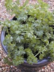 Suffolk herbes g?n?rations Lot???Par-cel???Apium Graveolens