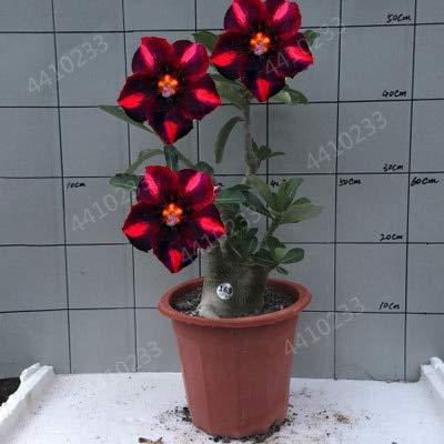 GETSO 2ST Mini Bonsai Desert Rose Pflanzen Exotische Adenium Obesum Pflanzen Blumen Bonsai Pflanzen Luftreinigung Hausgarten-Topfblumen: 4