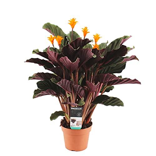 Calathea crocata 'Candela' | Safran-Korbmarante - Zimmerpflanze im Anzuchttopf ⌀14 cm - ↕40-50 cm