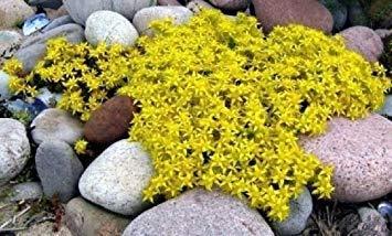 Gelber Sedum Samen, gelber Morgen, blühender Bodendecker-Samen, Erbstück-Samen 50ct