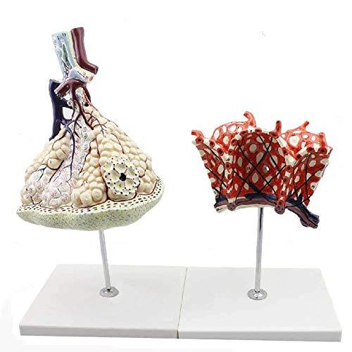 JL Medizinisches Klassenzimmer Studien Modell Menschliche Lungenläppchen Und Alveolar Vergrößerungsmodell,2 Stücke Digitale Anzeige Zum Lehren Und Lernen