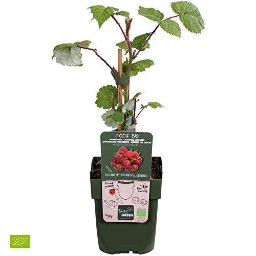 2x Rubus phoenicolasius | Japanische Weinbeere | Obstpflanze | Winterhart | Höhe 30-60cm | Topf-Ø 12cm