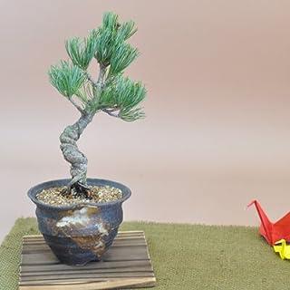 【母の日】五葉松の盆栽 ラッピング メッセージカード、説明書&肥料付