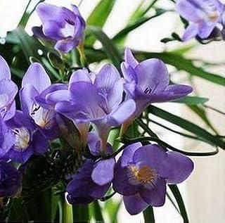 GEOPONICS Semillas: bombillas Ture fresia, flor, interior del pote de orquídeas Flores, Fresia Rizoma bulbos de flores florales tranquilas de huerta de plantas-2bulbs: Naranja