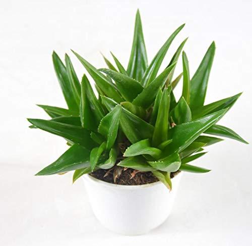 Pianta Grassa Aloe Ibrida, Vaso 10cm,Altezza 5/10cm