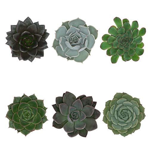 Pasiora Echeveria Mix im 6cm Topf, verschiedene kleine Pflanzen, Rosetten Geschenkset (6 Stück)