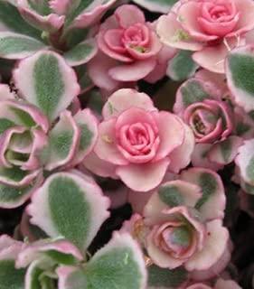 Plant Tricolor Sedum Spurium Succulent Variegated Stonecrop Succulents in 2 inch Pot Get Five Rooted cuttings #KG01YN